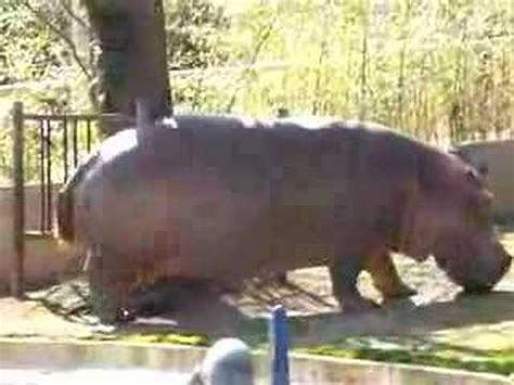 hippo peeing and pooping :) - YouTube