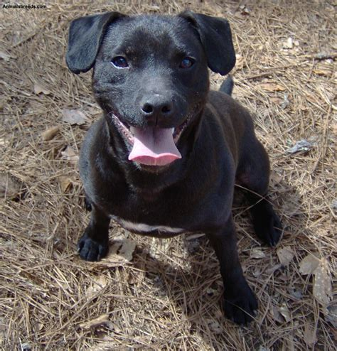 Patterdale Terrier Dog Breed - Pictures, Information