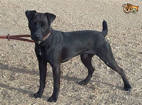 Wanted smooth coated patterdale terrier bitch | Aberdeen