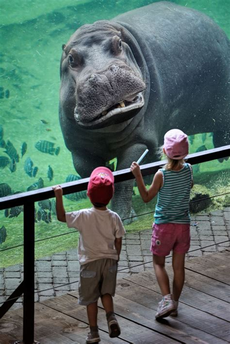 Hippo, hippo, hooray! Children come face to face with an